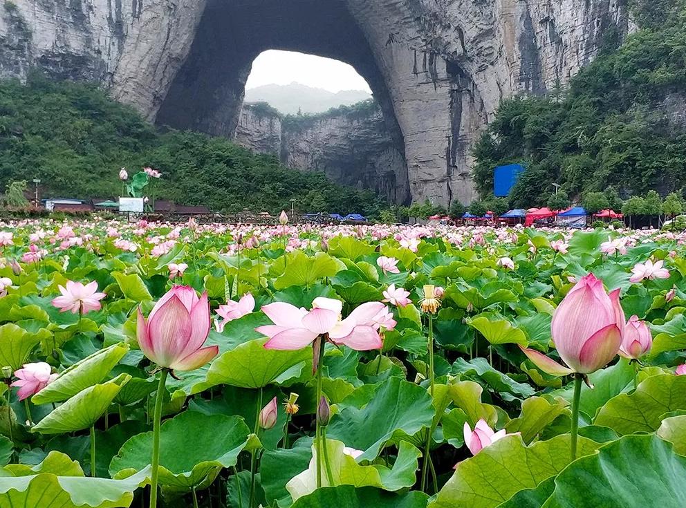 惊艳!贵州这个景点,藏着世界最大天生桥,百亩荷花!