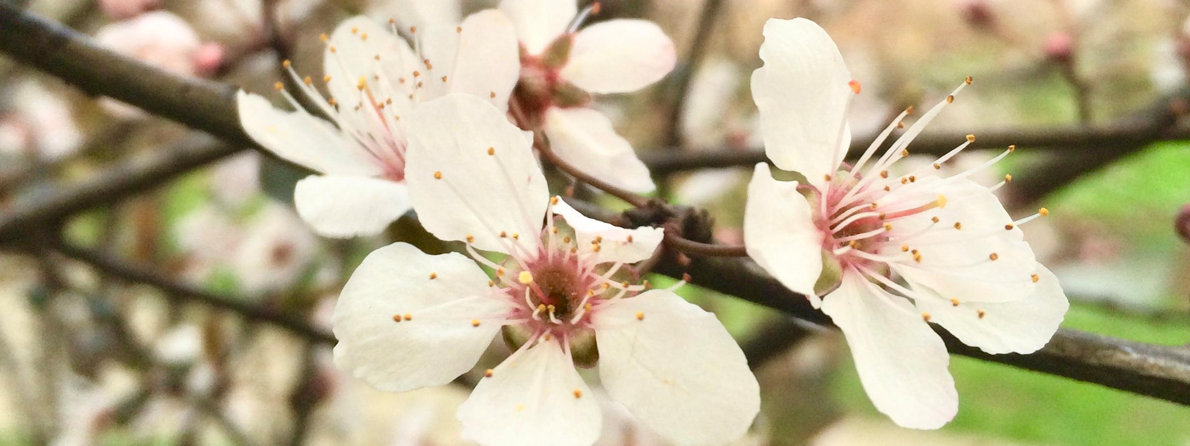 【阳春三月赏花季】梨花:花瓣洁白丰润、一簇簇地开放在绿叶间,花蕊颜色深,略带点红色  李琴琴 /摄